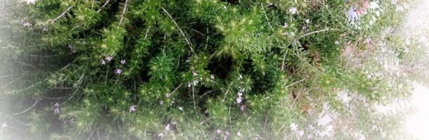 ラベンダーが生い茂る